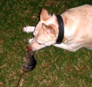 Dog killed rat